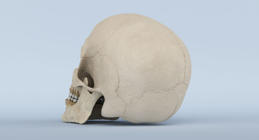 Skull Anatomy royalty-free 3d model - Preview no. 18