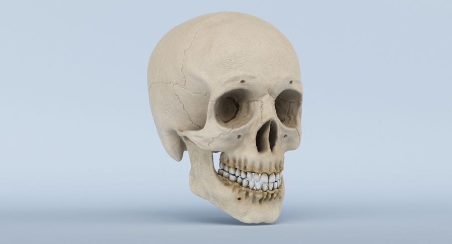 Skull Anatomy royalty-free 3d model - Preview no. 3