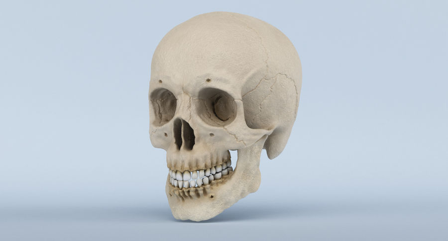 Skull Anatomy royalty-free 3d model - Preview no. 13