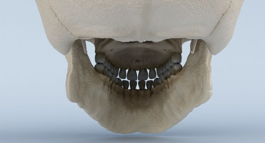 Anatomie du crâne royalty-free 3d model - Preview no. 23