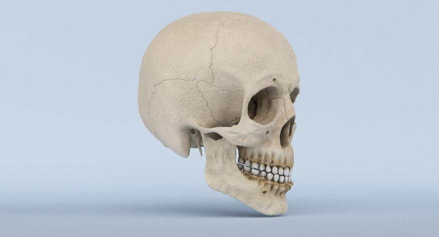 Skull Anatomy royalty-free 3d model - Preview no. 4