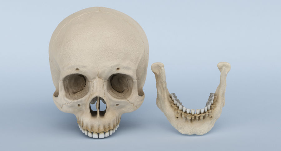Skull Anatomy royalty-free 3d model - Preview no. 16