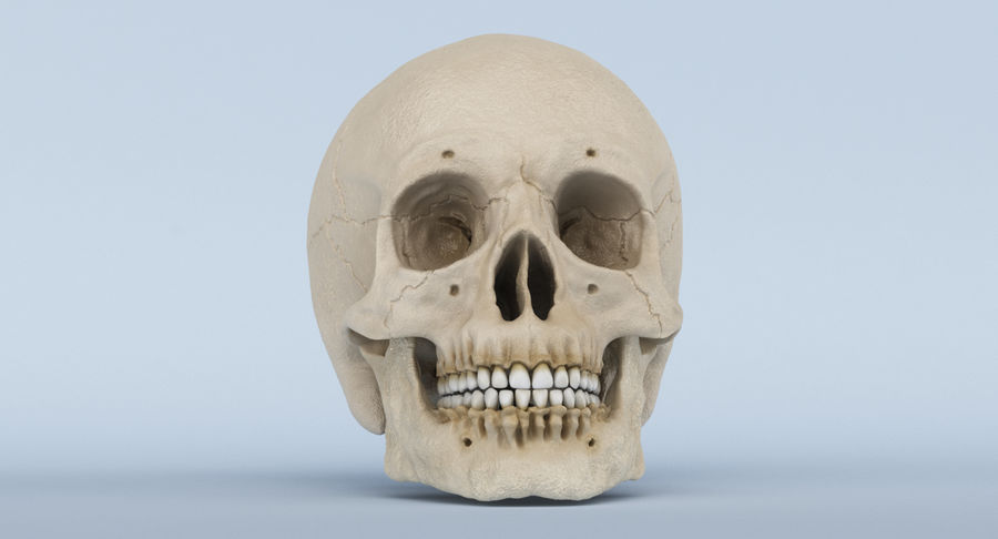 Skull Anatomy royalty-free 3d model - Preview no. 25