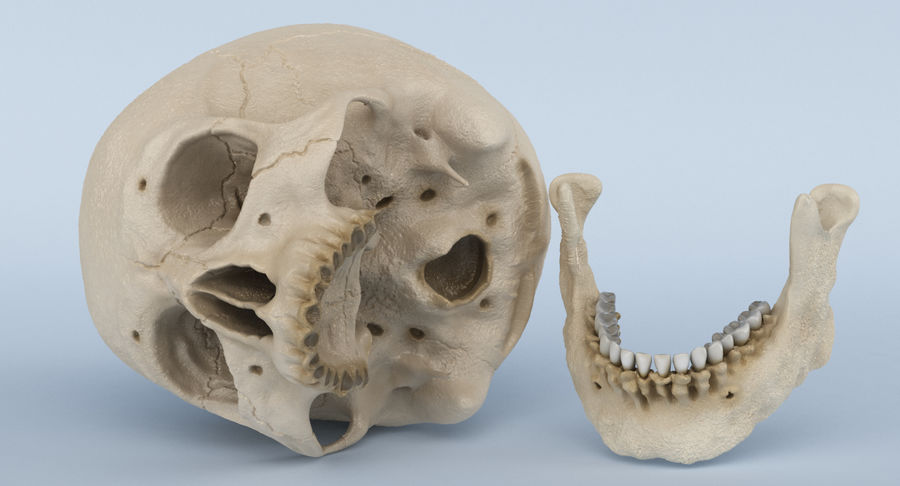 Skull Anatomy royalty-free 3d model - Preview no. 24