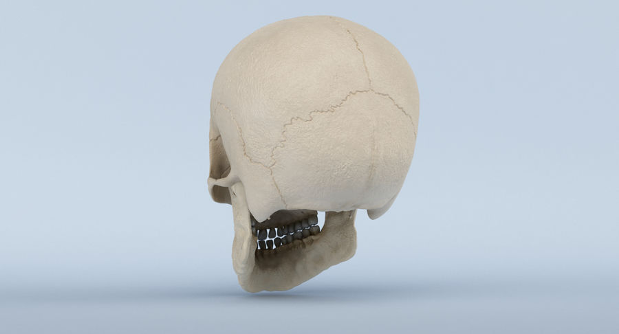 Skull Anatomy royalty-free 3d model - Preview no. 9