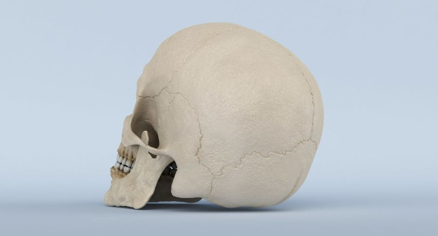 Anatomie du crâne royalty-free 3d model - Preview no. 18