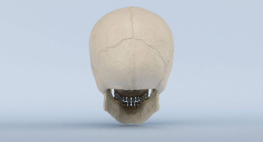 Skull Anatomy royalty-free 3d model - Preview no. 8