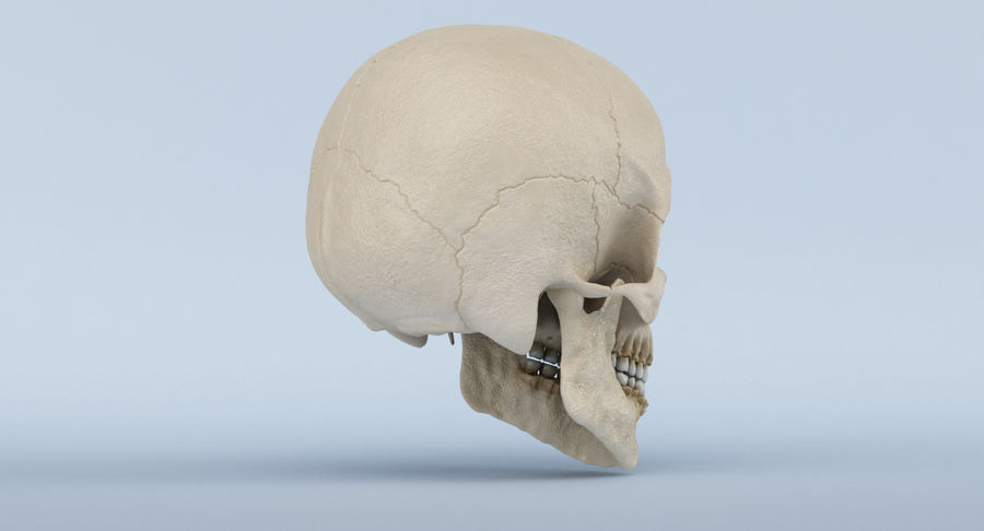 Skull Anatomy royalty-free 3d model - Preview no. 6