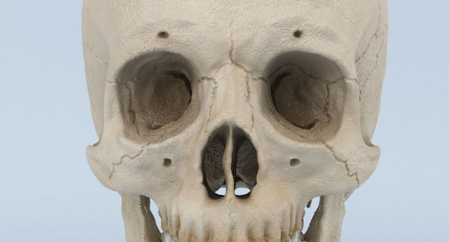 Skull Anatomy royalty-free 3d model - Preview no. 17