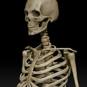 Anatomisches menschliches männliches Skelett 3d model