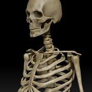 Scheletro maschio umano anatomico 3d model