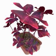 Roślin szczawiu 3d model
