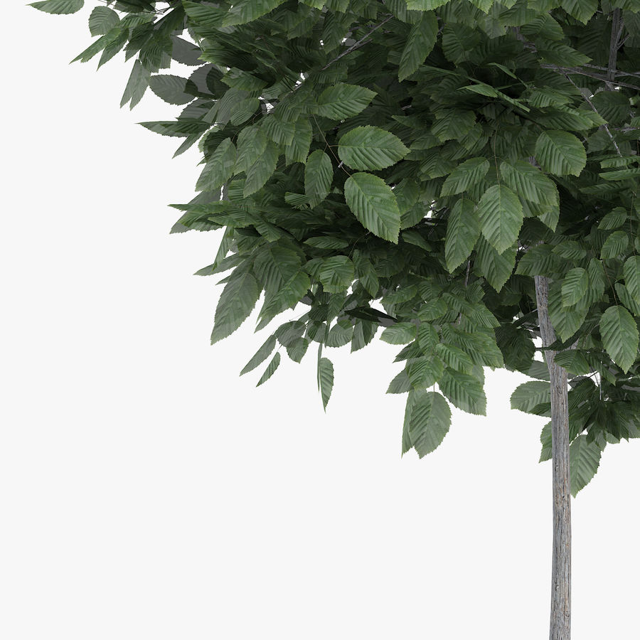 Common Hornbeam Tree 1.7m royalty-free 3d model - Preview no. 5