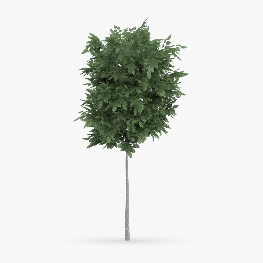 Common Hornbeam Tree 1.7m royalty-free 3d model - Preview no. 3