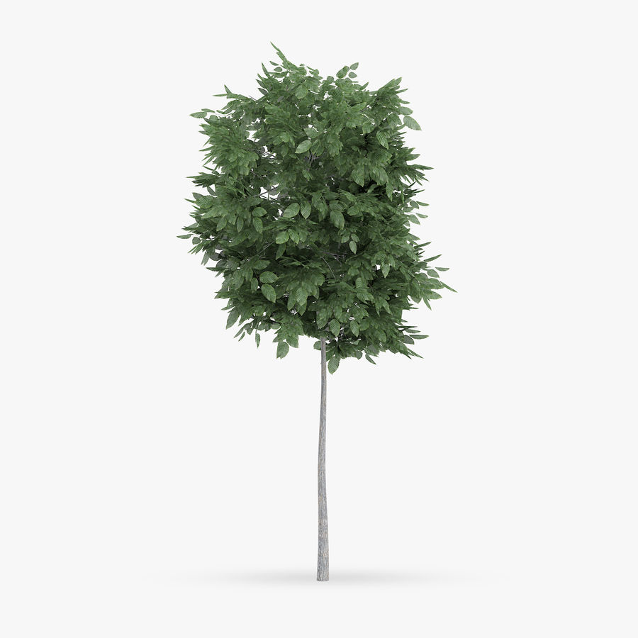 Common Hornbeam Tree 1.7m royalty-free 3d model - Preview no. 1