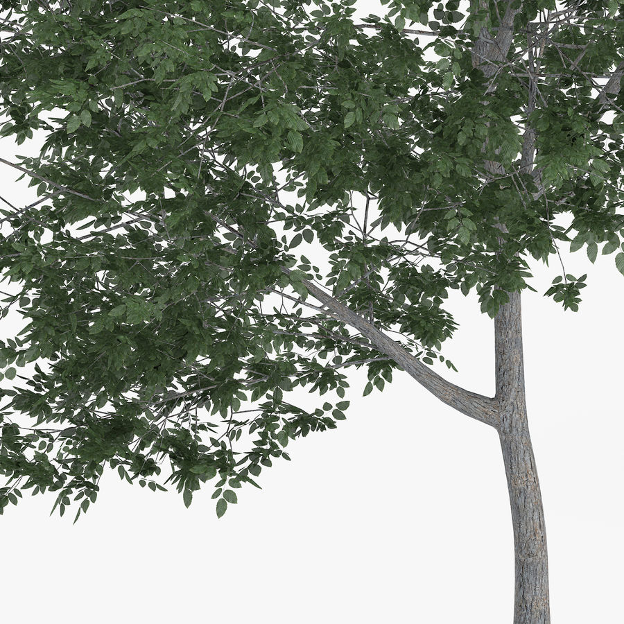 Common Hornbeam Tree 5m royalty-free 3d model - Preview no. 5
