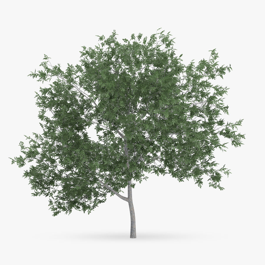 Common Hornbeam Tree 5m royalty-free 3d model - Preview no. 1