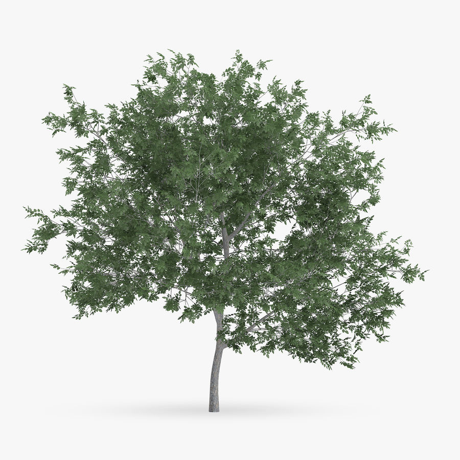 Common Hornbeam Tree 5m royalty-free 3d model - Preview no. 3