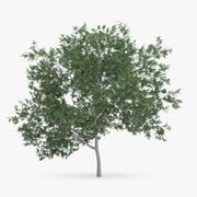 Albero di carpino comune 5m 3d model