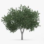 Albero di carpino comune 5,6 m 3d model