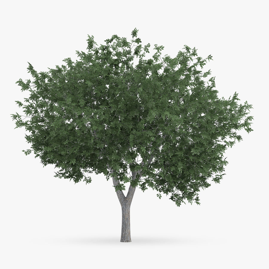 Common Hornbeam Tree 5.6m royalty-free 3d model - Preview no. 3