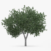Common Hornbeam Tree 5.6m 3d model