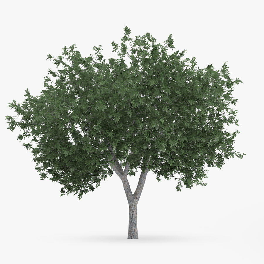 Common Hornbeam Tree 5.6m royalty-free 3d model - Preview no. 1