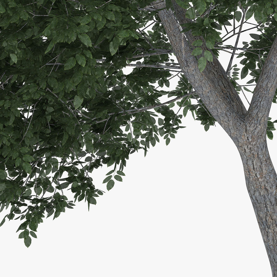 Common Hornbeam Tree 5.6m royalty-free 3d model - Preview no. 5