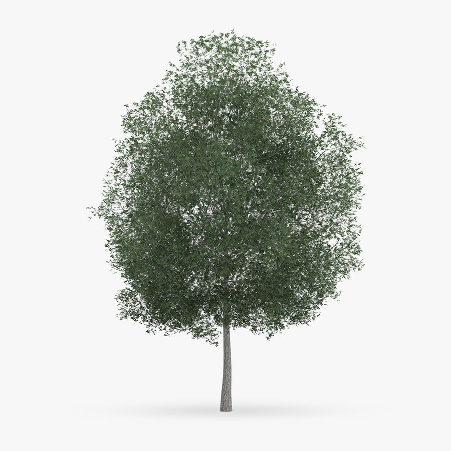 Common Hornbeam Tree 13m royalty-free 3d model - Preview no. 3
