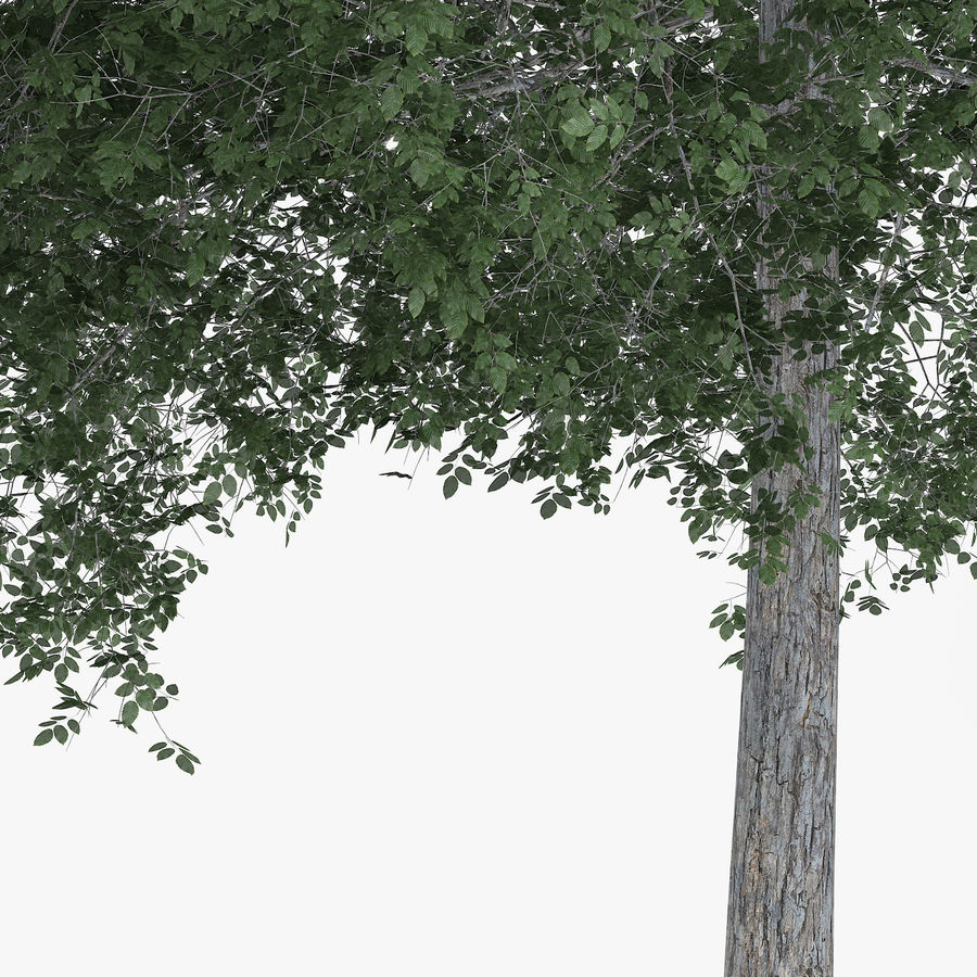 Common Hornbeam Tree 13m royalty-free 3d model - Preview no. 5