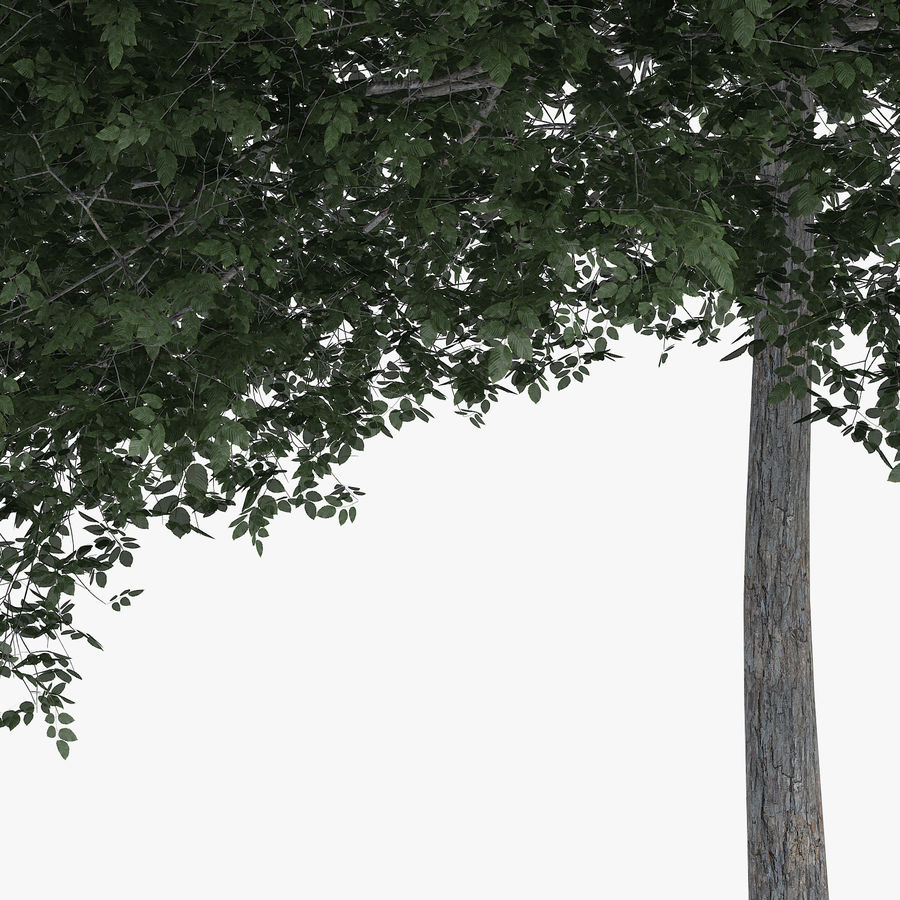 Common Hornbeam Tree 12.7m royalty-free 3d model - Preview no. 5