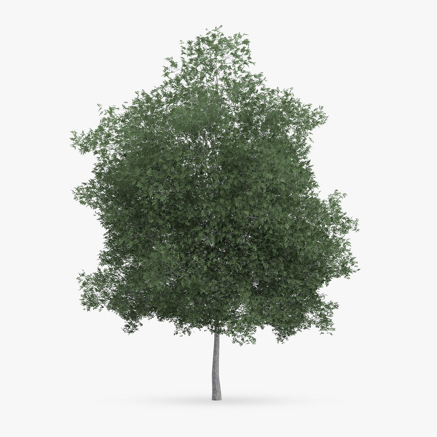 Common Hornbeam Tree 12.7m royalty-free 3d model - Preview no. 3