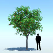 Sorbus aucuparia (Üvez ağacı 002) 3d model