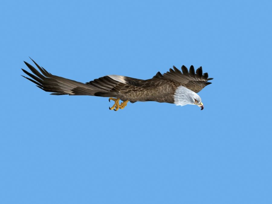 Animated Bald Eagle royalty-free 3d model - Preview no. 5