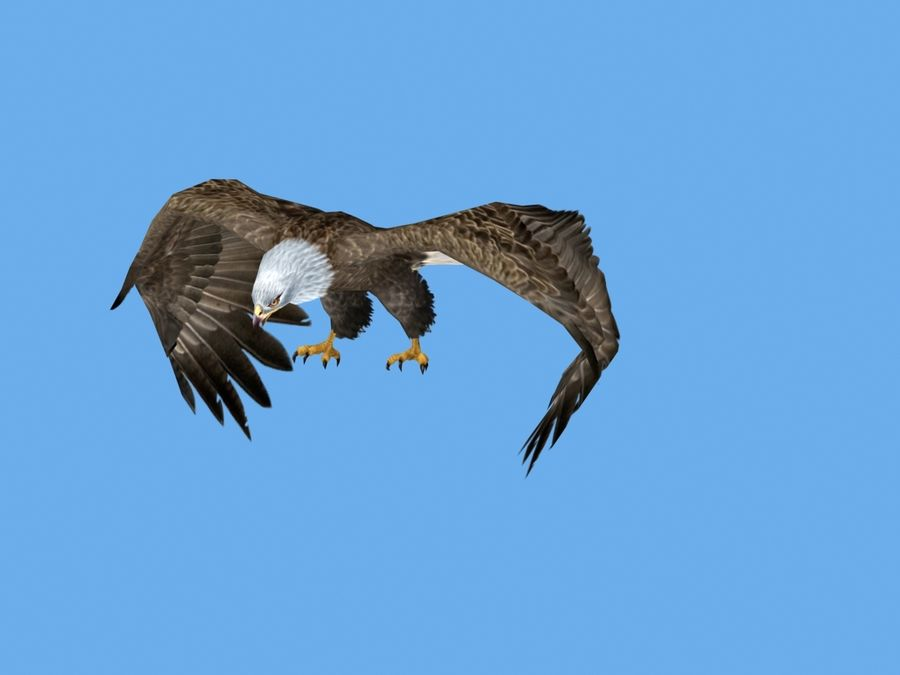 Animated Bald Eagle royalty-free 3d model - Preview no. 3