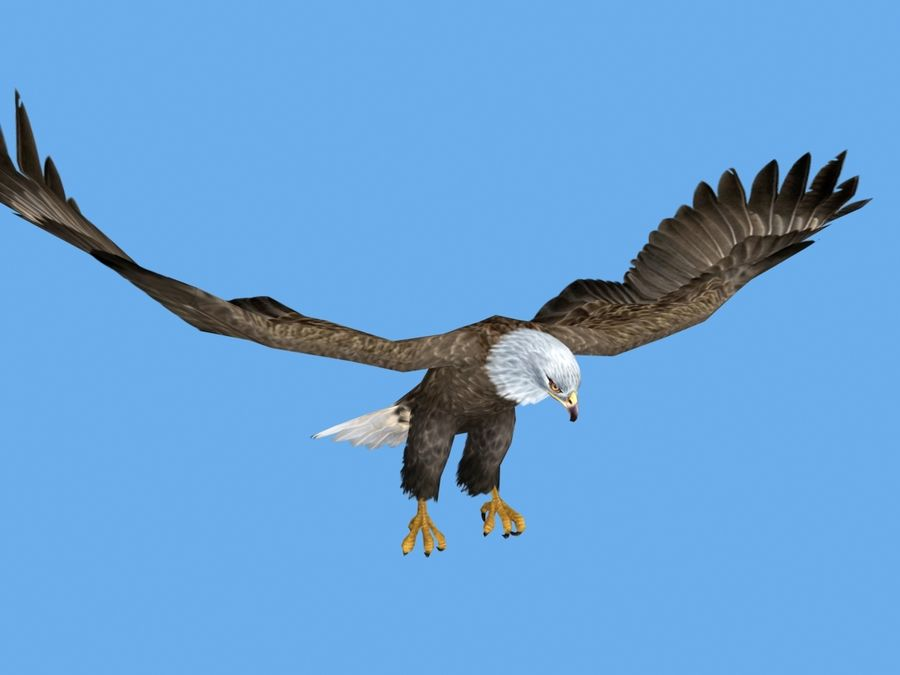 Animated Bald Eagle royalty-free 3d model - Preview no. 2
