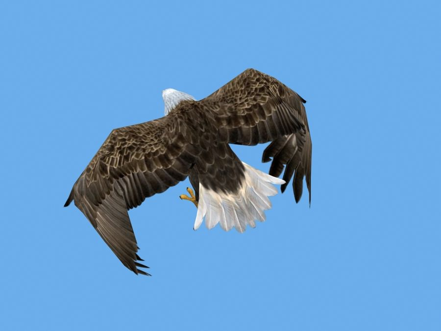 Animated Bald Eagle royalty-free 3d model - Preview no. 4