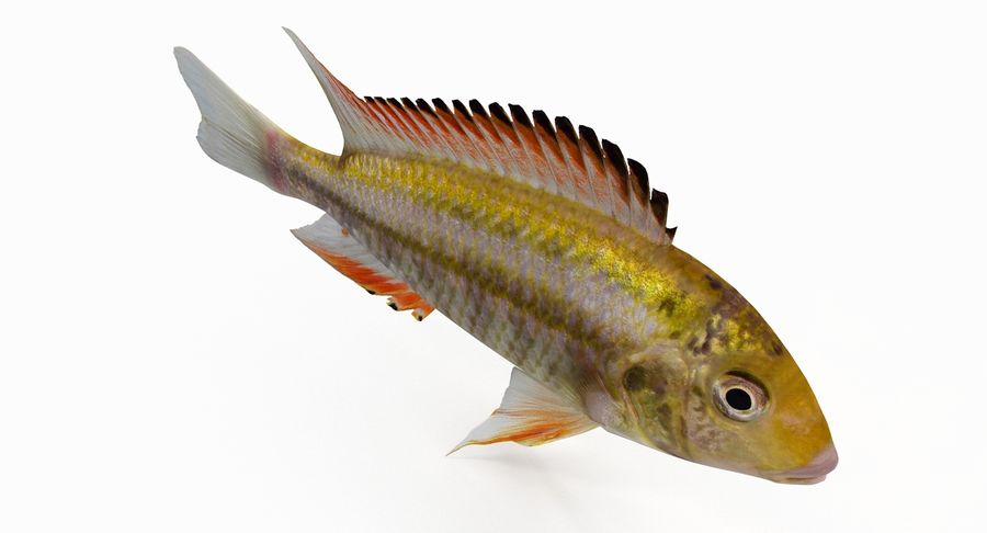 Simnochromis Diagramma Cichlid royalty-free 3d model - Preview no. 4
