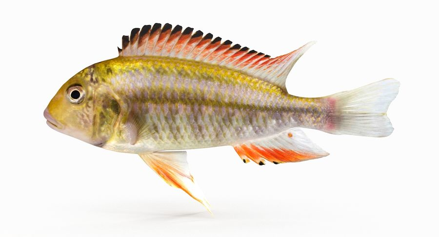 Simnochromis Diagramma Cichlid royalty-free 3d model - Preview no. 2