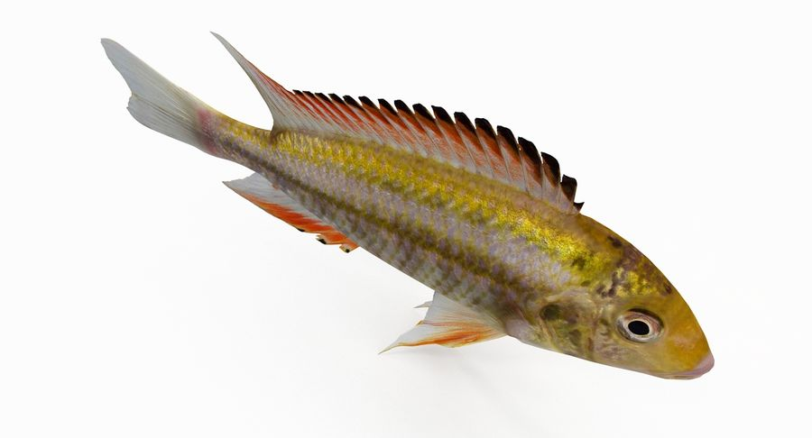 Simnochromis Diagramma Cichlid royalty-free 3d model - Preview no. 7