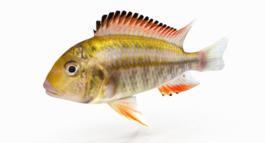 Simnochromis Diagramma Cichlid royalty-free 3d model - Preview no. 3