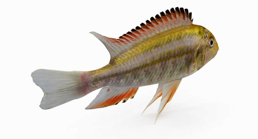 Simnochromis Diagramma Cichlid royalty-free 3d model - Preview no. 5