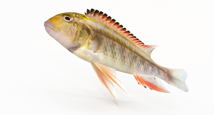 Simnochromis Diagramma Cichlid royalty-free 3d model - Preview no. 6