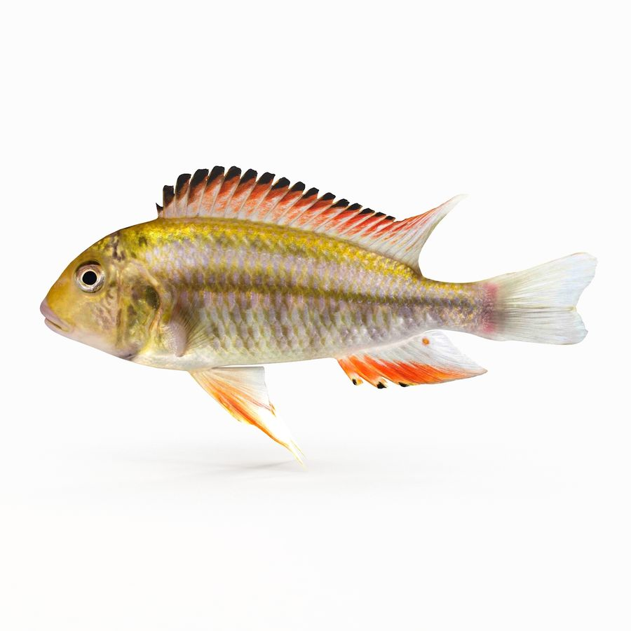 Simnochromis Diagramma Cichlid royalty-free 3d model - Preview no. 1