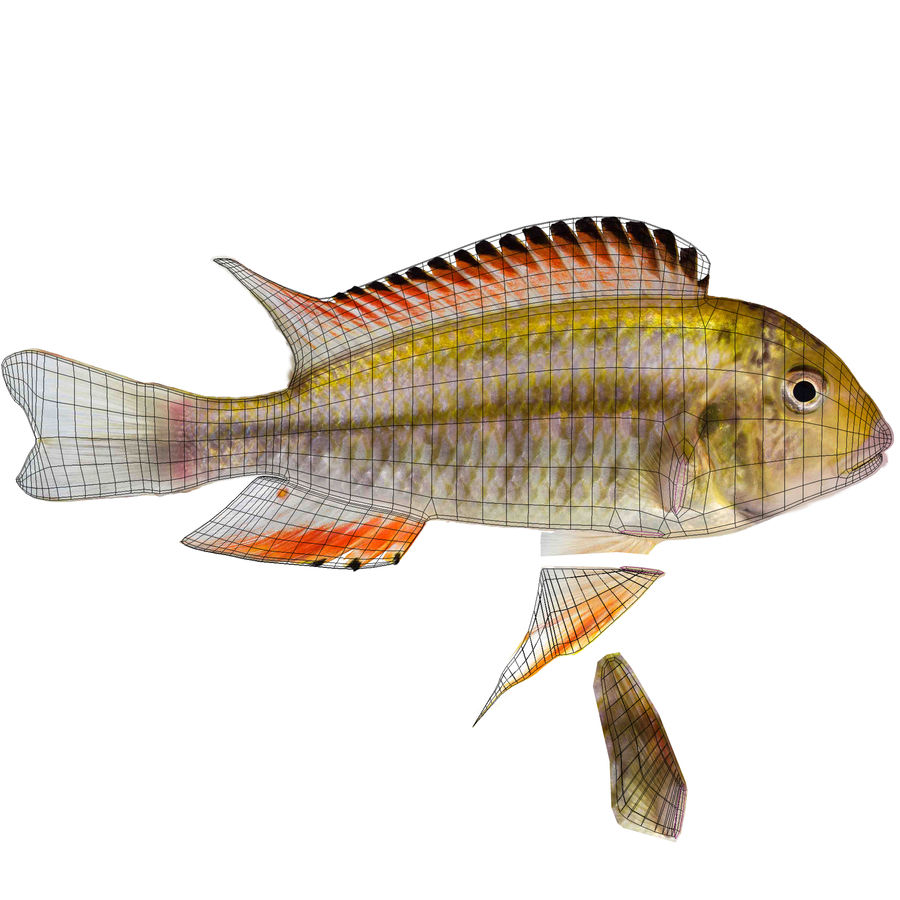 Simnochromis Diagramma Cichlid royalty-free 3d model - Preview no. 10