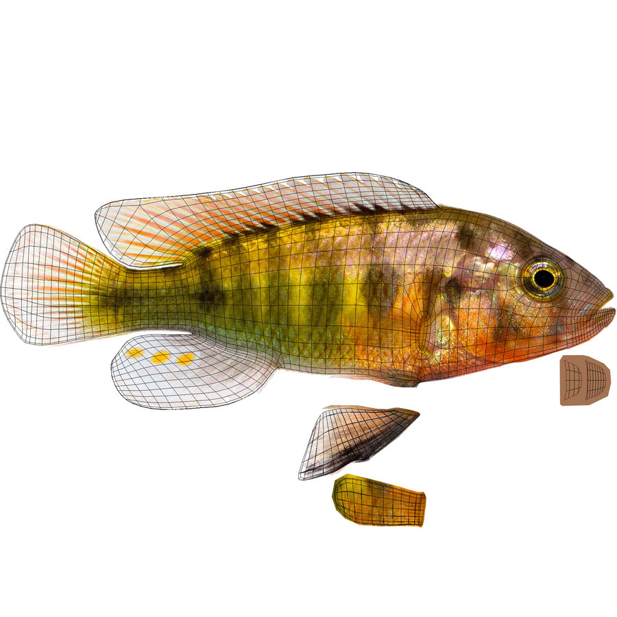 Pundamilia Cichlid royalty-free 3d model - Preview no. 9