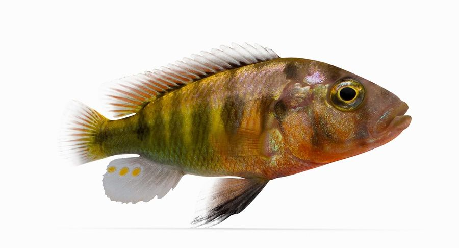 Pundamilia Cichlid royalty-free 3d model - Preview no. 4