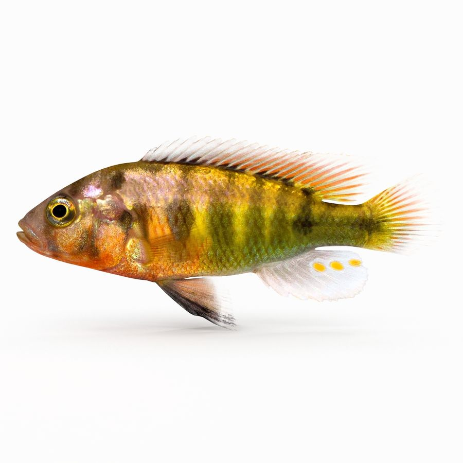 Pundamilia Cichlid royalty-free 3d model - Preview no. 1