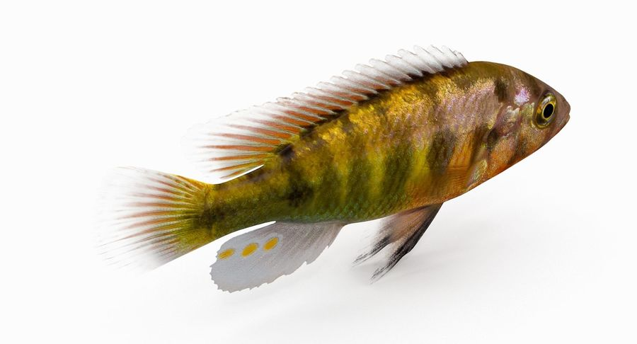 Pundamilia Cichlid royalty-free 3d model - Preview no. 5