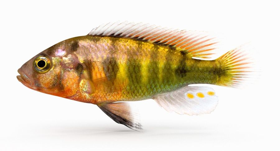 Pundamilia Cichlid royalty-free 3d model - Preview no. 2